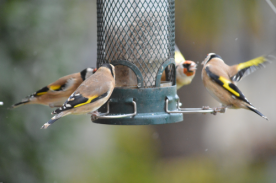Hungry goldfinch!