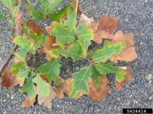 oak scorch. Image courtesy of DEFRA